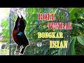 Masteran Konin Full Tembakan Cocok Untuk Memancing Burung Bahan  Mp3 - Mp4 Download