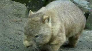 Wombat !!!  ウォンバット、ぬいぐるみの様な愛嬌ある動物だ!