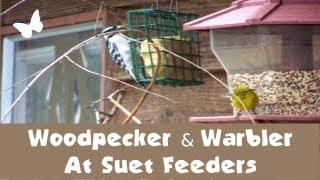 Woodpecker And Pine Warbler At Suet Feeders (feederwatch)