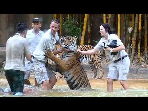 Tiger attacks keeper at Steve Irwin's Australia Zoo