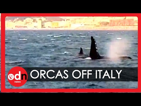Rare Sighting of Killer Whales off Genoa Coastline