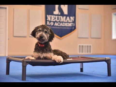 Vinny (Australian Shepherd/Poodle) Puppy Camp Dog Training Video Demonstration