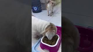 Dogs eat meat ball 2 and Mylly's naughty   shih tzu シーズー chihuahua チワワ thumbnail