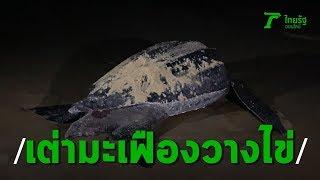 เต่ามะเฟืองวางไข่ที่พังงา  85 ฟอง จนท.อุทยานฯ รุดดูแล  | Thairth Online