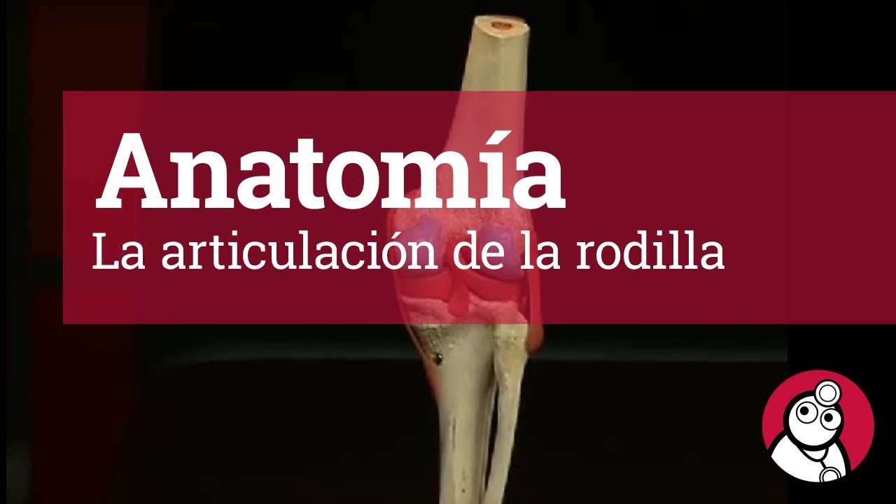 Anatomía: La articulación de la rodilla - YouTube