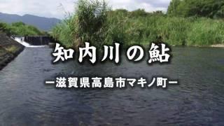 鮎の産卵<知内川の鮎>