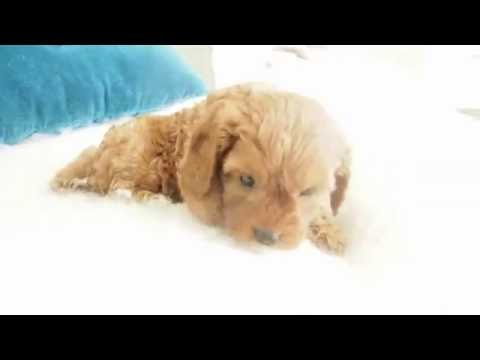 Petal's Toy Cavoodle Boy 5036 - Pocket Puppies