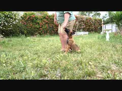 Kilo - Belgian Malinois puppy obedience training
