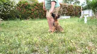 Kilo - Belgian Malinois Puppy Obedience Training