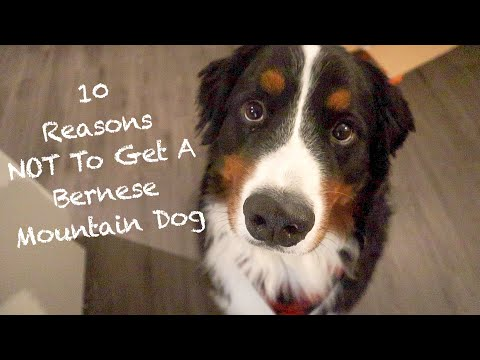 10 Reasons Why The Bernese Mountain Dog Might Not Be The Dog For You