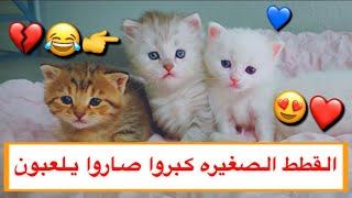 قطه صغيره عصبيه و مشاغبه 😂💔 القطط الصغيره كبروا وصاروا يلعبون 😍 / Mohamed Vlog