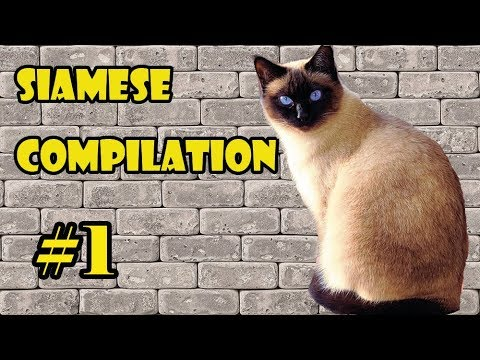 Funny Siamese Cat Compilation 2018 #1   The FUNNIEST CAT videos