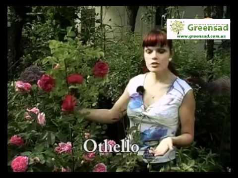 Лучшие сорта роз Дэвида Остина