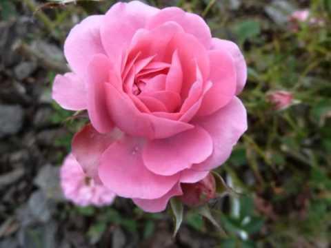 ROSE DI FINE MAGGIO-DI- ANNA MARIA CHERCHI