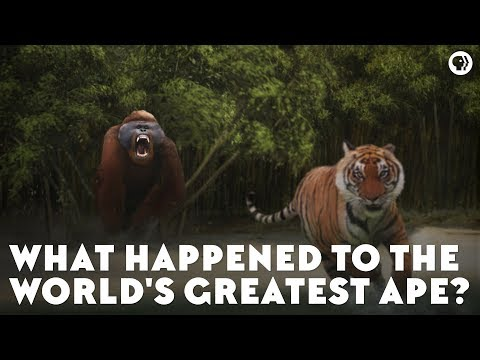 What Happened to the World&39;s Greatest Ape?
