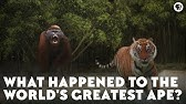 What Happened to the World's Greatest Ape?