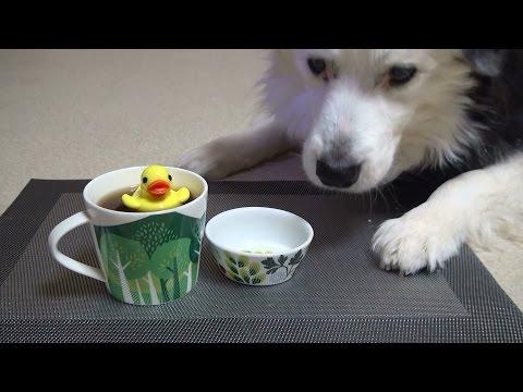 Trick Dog Champion TDCH - Kuma the Border Collie
