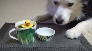 Trick Dog Champion TDCH  Kuma the Border Collie