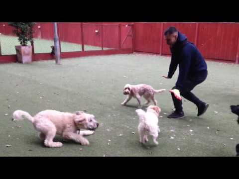 How to train your fear reactive dog - with Dylan the Wheaten Terrier