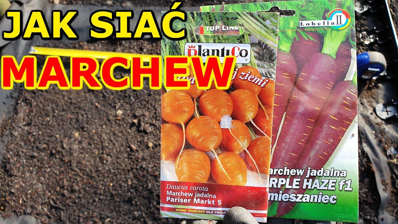 Download Jak i kiedy siać Marchew do Gruntu, Donicy | Uprawa Marchwi w ogrodzie