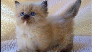 Animal Planet  : Cats 101 ~ Munchkin