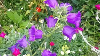 Видеофон - Цветы, Фиолетовые Колокольчики (скачать, футаж)