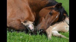 Zapętlaj Табун башкирских лошадей на выпасе. Жеребята и матки | Katerina Mironova