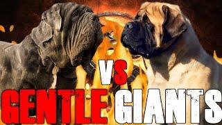 Neapolitan Mastiff vs English Mastiff   English Mastiff vs Neapolitan Mastiff    Billa Boyka  