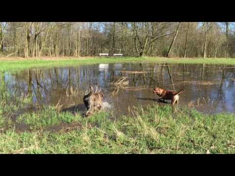 Old English Mastiff & French Mastiff taking a mud bath