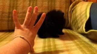 черный мини мальчик мишка померанский шпиц 7 недель из Питомник Черноголовка