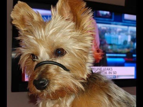 SafeCalm Training Collar for Small Dogs - Dog Whisperer BIG CHUCK MCBRIDE