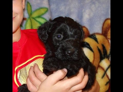 Male Kerry Blue Terrier Puppies