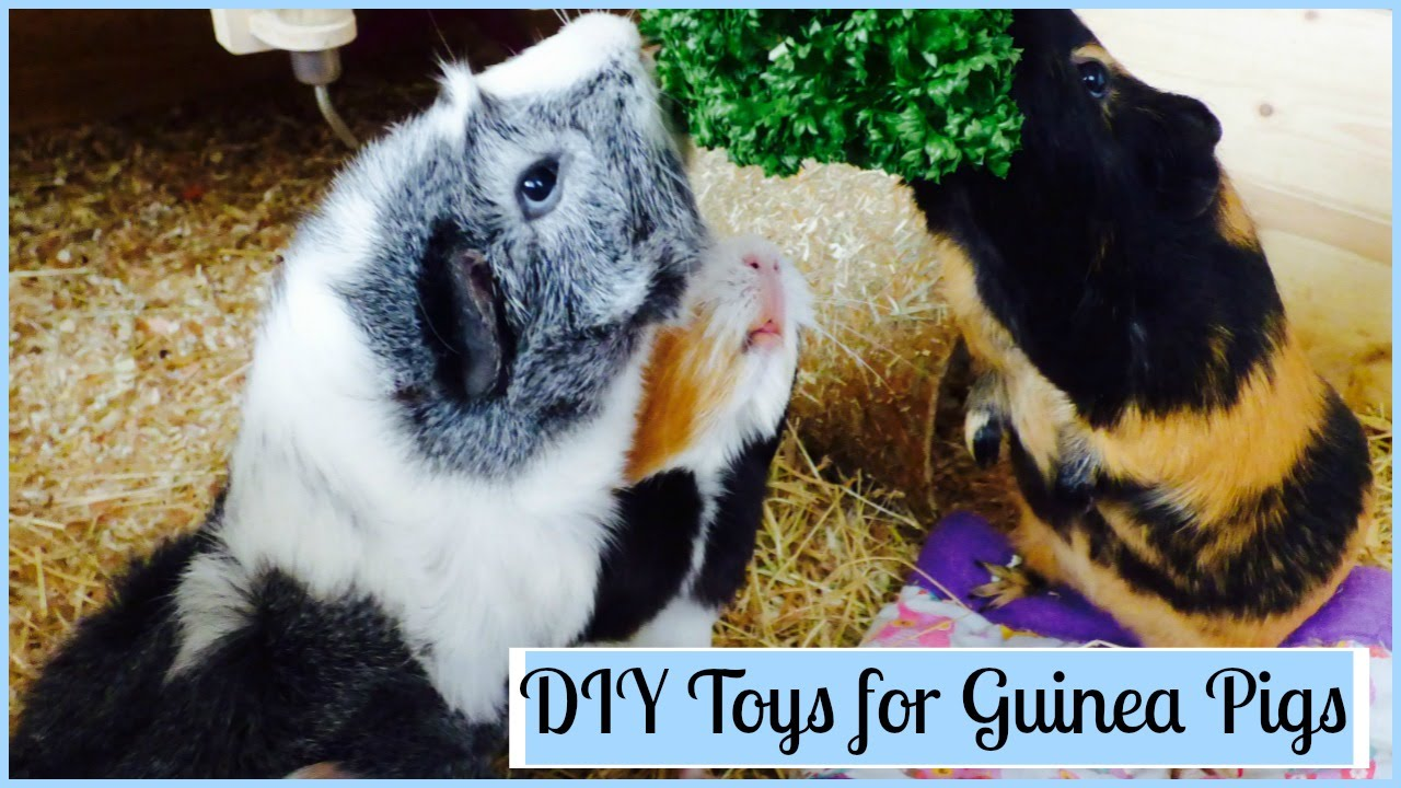 Pets At Home Best Price Ginea Pigs