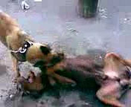doberman vs pastor belga - YouTube