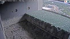 Wilmington Delaware - Peregrine Falcon #2