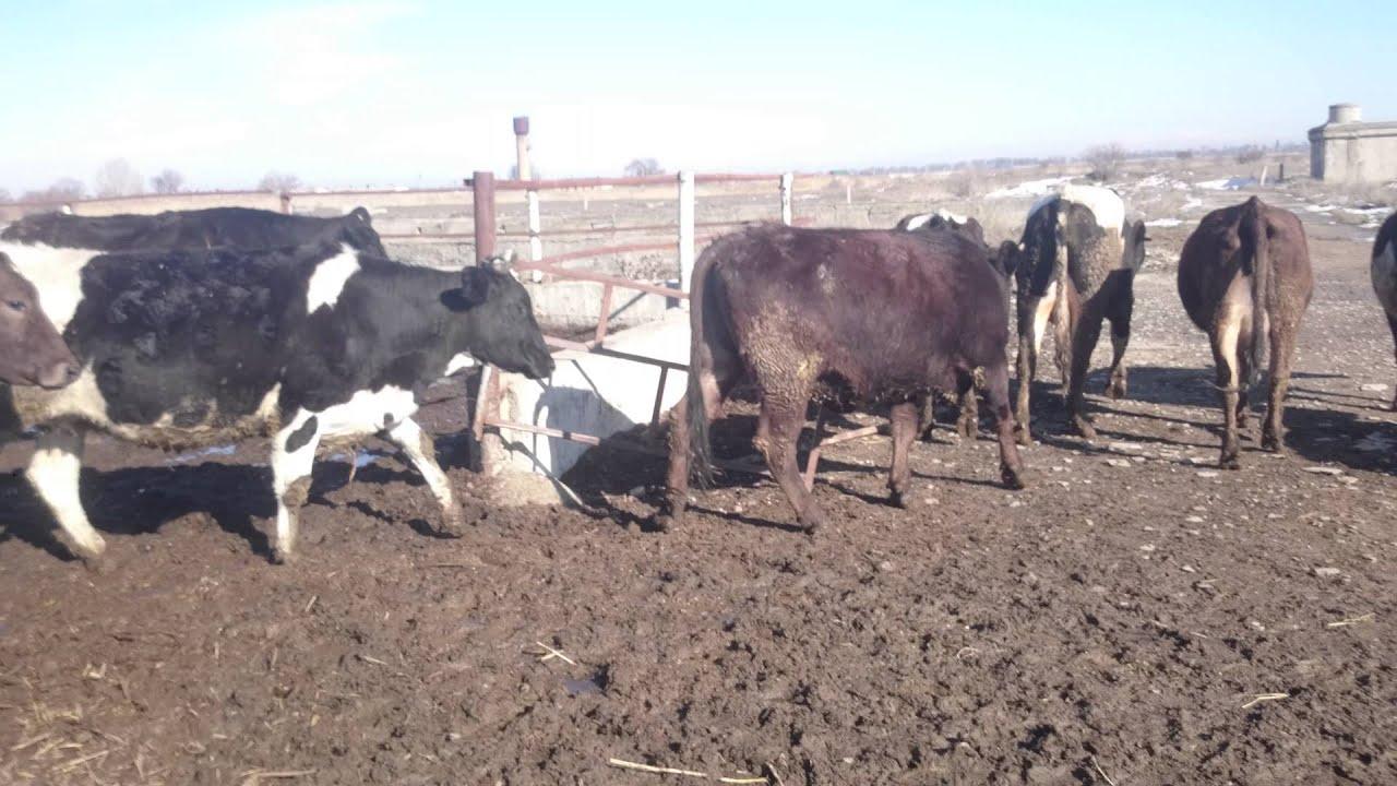 Продажа покупка коров, телят, крс: 382 актуальных объявлений от животноводов россии с прямыми контактами, без посредников.