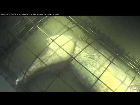 Sixgill shark (Hexanchus griseus) investigates a subsea forensic experiment