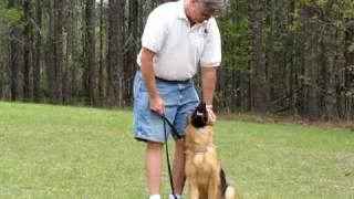 German Shepherd Puppy- Bella With Ted