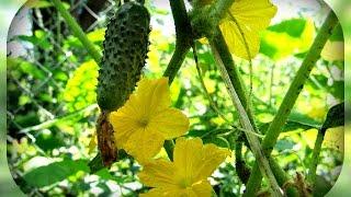 Почему появляются огурцы пустоцветы, как с ними бороться и что стоит о них знать?