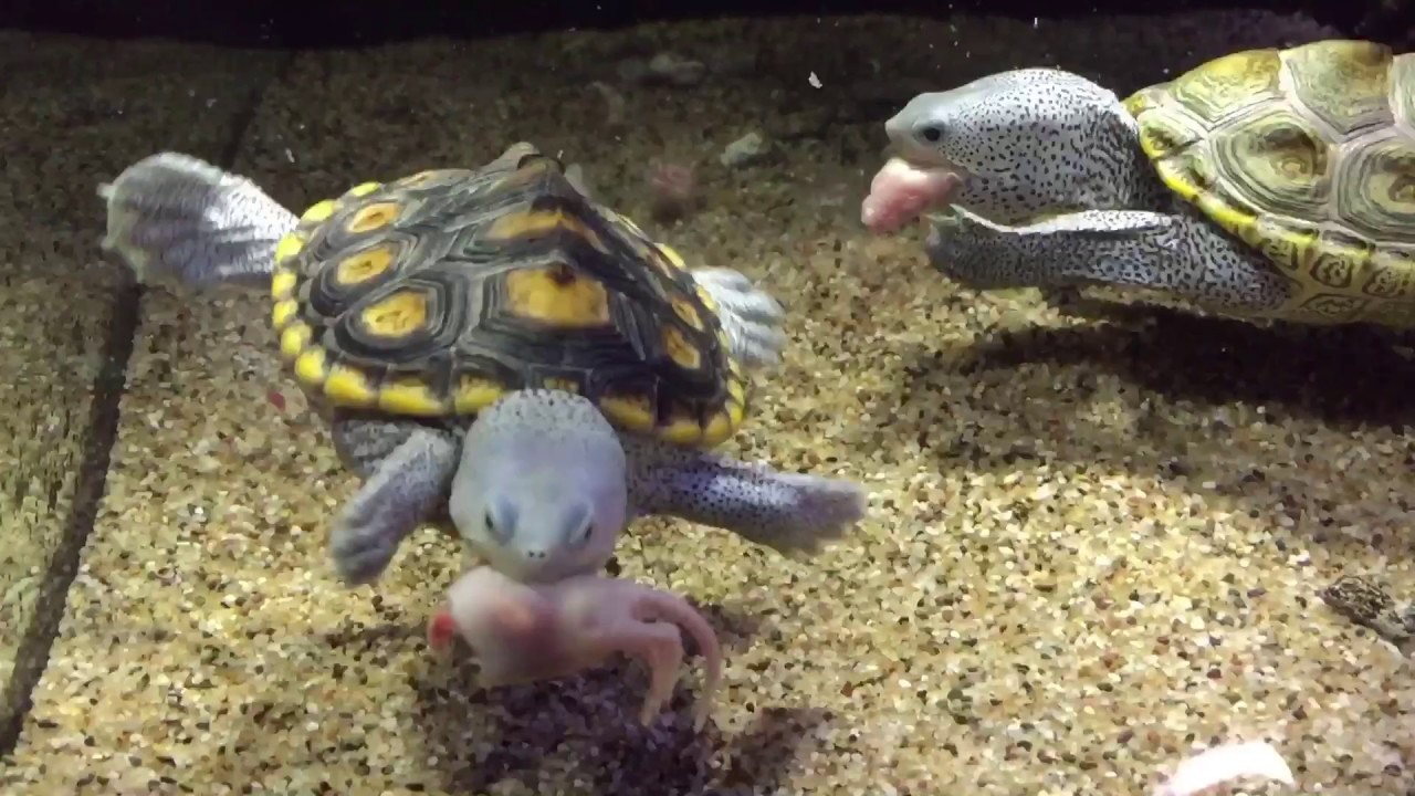 Turtles eating pinky mouse
