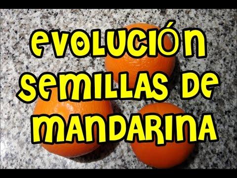 como germinar semillas de mandarina/cómo germinar semillas/mi