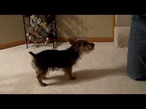 Australian Terrier Puppy Being Playful