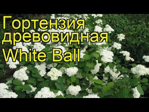 Гортензия древовидная Уайт Бал. Краткий обзор, описание hydrangea arborescens White Ball