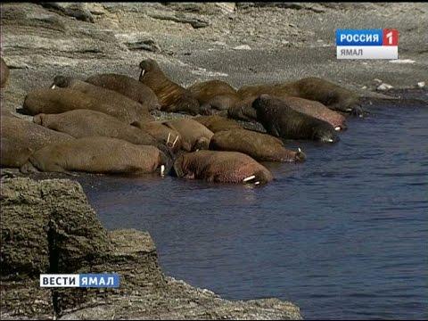 Специалисты WWF исследовали в Печерском море краснокнижного атлантического моржа