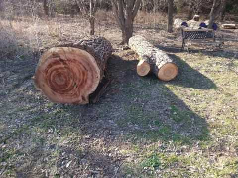 American Elm - From Tree To Slabs