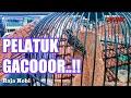 Pelatuk Gacor Mantap Untuk Isian  Mp3 - Mp4 Download