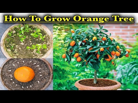 How To Grow Orange Plant At Home Quick & Easy Method ll (A Complete Step by Step Guide)