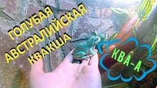 Голубая австралийская квакша. Pelodryas (Litoria) caerulea