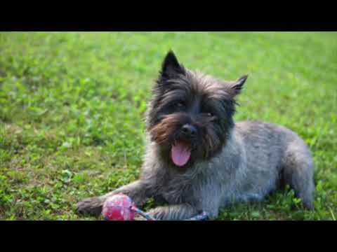 Cairn Terrier - Dog Breed Information