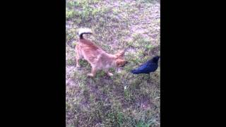 Russell The Crow And Dexter The Chihuahua Play Outside